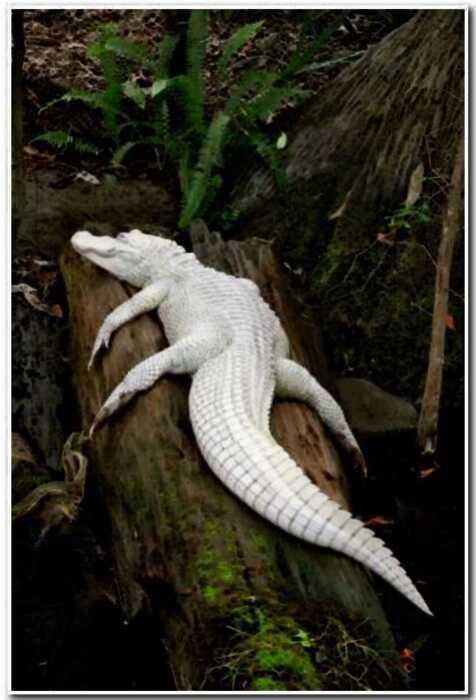 14 примеров альбинизма у животных, которые делают из них сказочных персонажей