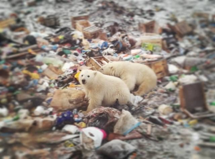 Из-за голода белые медведи совершили нашествие на Архангельскую область
