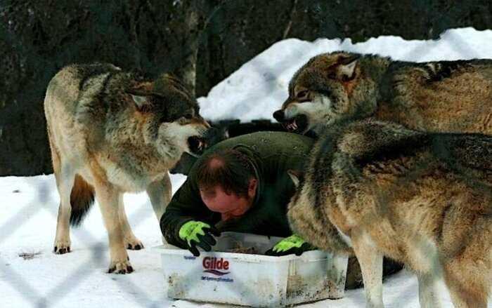 """""""Маугли наоборот"""": норвежец воспитал четырех волков и стал их Акеллой"""