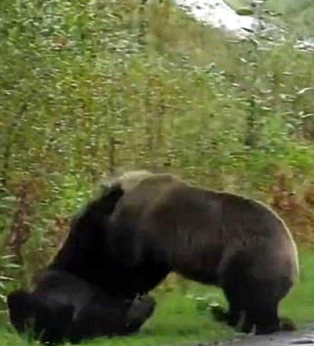 В Канаде засняли драку двух медведей гриззли и это устрашающе!