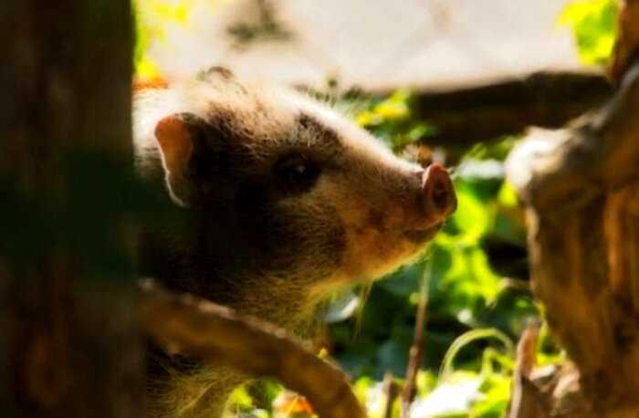 В Китае родился первый в мире гибрид обезьяны и свиньи