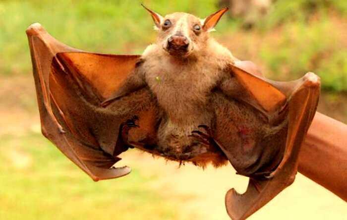 Кто такие огромные африканские летучие мыши с головами собак