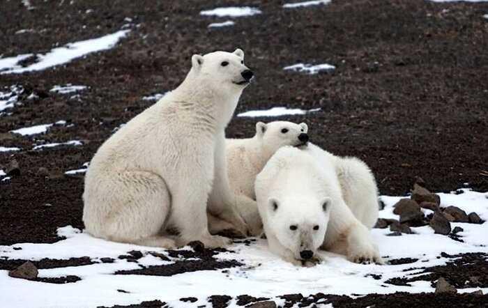 «Спасибо, человек»: из-за людей белые медведи стали есть друг друга