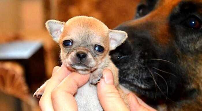 Самая маленькая собака в мире, покорившая сердца интернет-пользователей