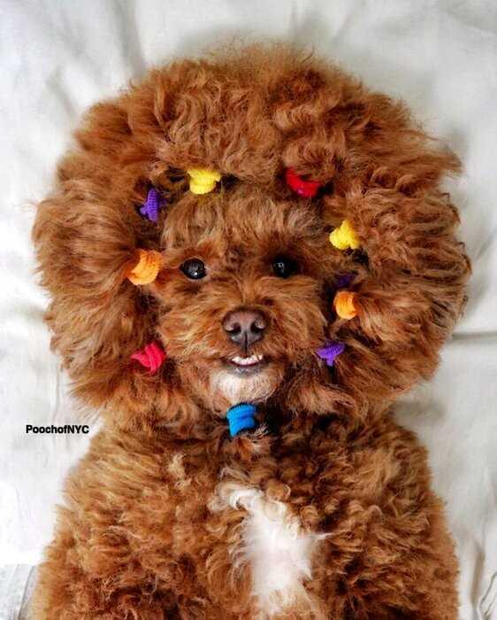 Пудель из Нью-Йорка — самый стильный пес в мире, ставший знаменитостью
