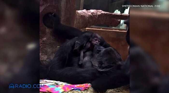 Горилла никак не может остановиться целовать своего новорожденного малыша