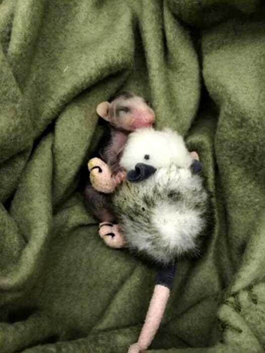 Детеныши опоссума — самые очаровательные мордашки на свете