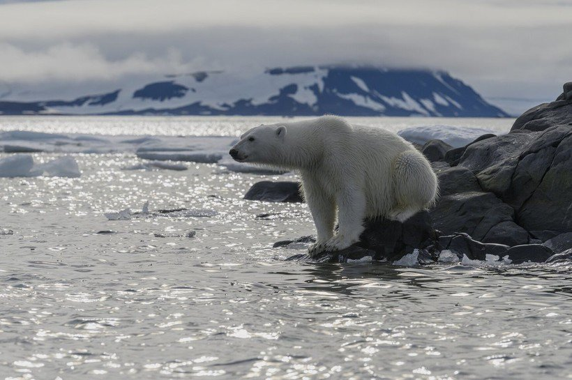 Что произойдет, если белого медведя ради спасения переселить в Антарктиду