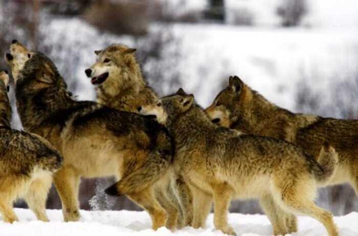 Стая волков не забудет доброту лесника: Как хранитель природы спасал волчонка из полыньи