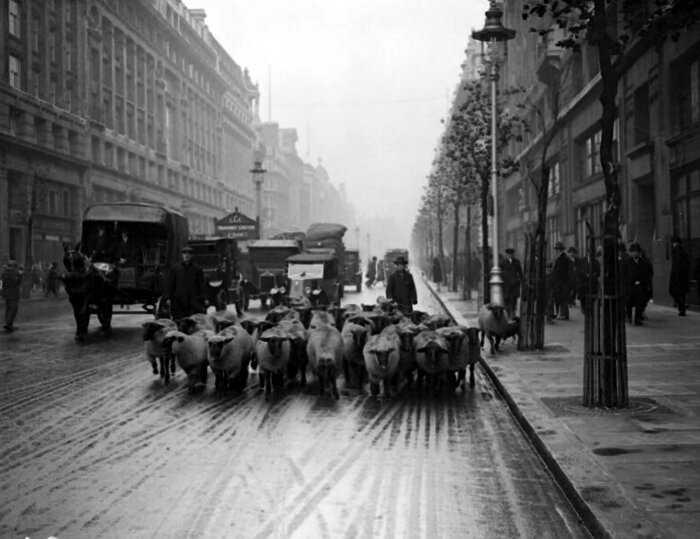 Как лондонские парки использовали овец в качестве естественных газонокосилок