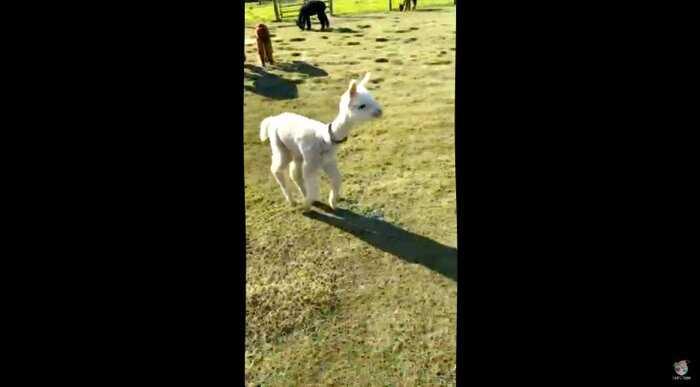 Удивительный момент: малыш альпака приревновал свою маму и прибежал скорее обнять ее