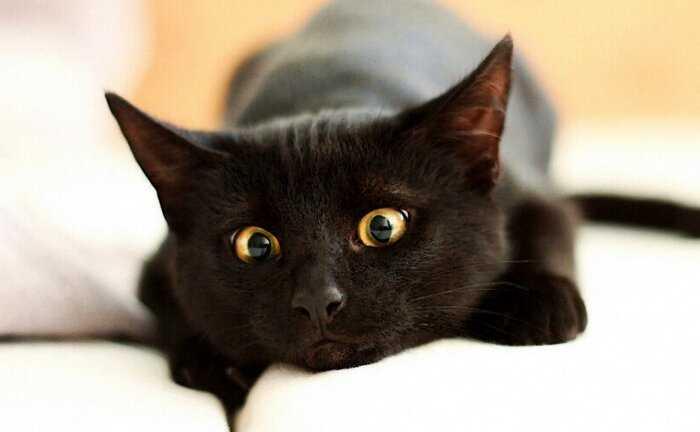 Кошки не мяукают для других кошек: 7 интересных фактов о котах