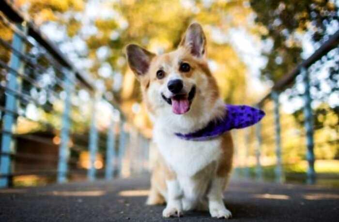Интересные факты о собачках корги