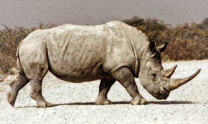 В 1950 году на камеру удалось снять самого большого носорога за всю историю наблюдений. Редкое видео